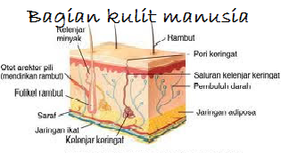 bagian kulit