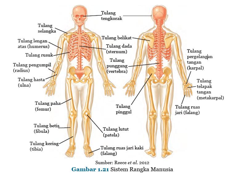 Fungsi Utama Tulang Bagi Tubuh Dan Struktur Tulang Kita Punya